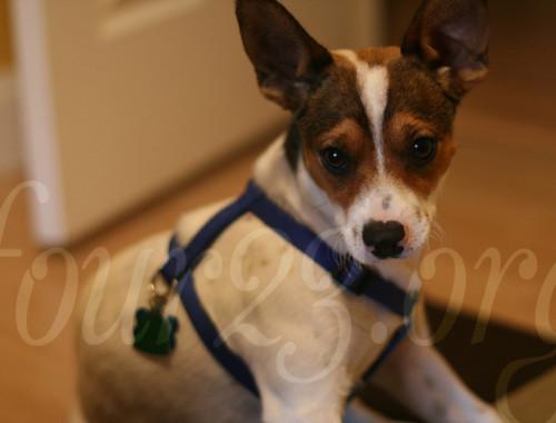 Baxter Jackabee Puppy