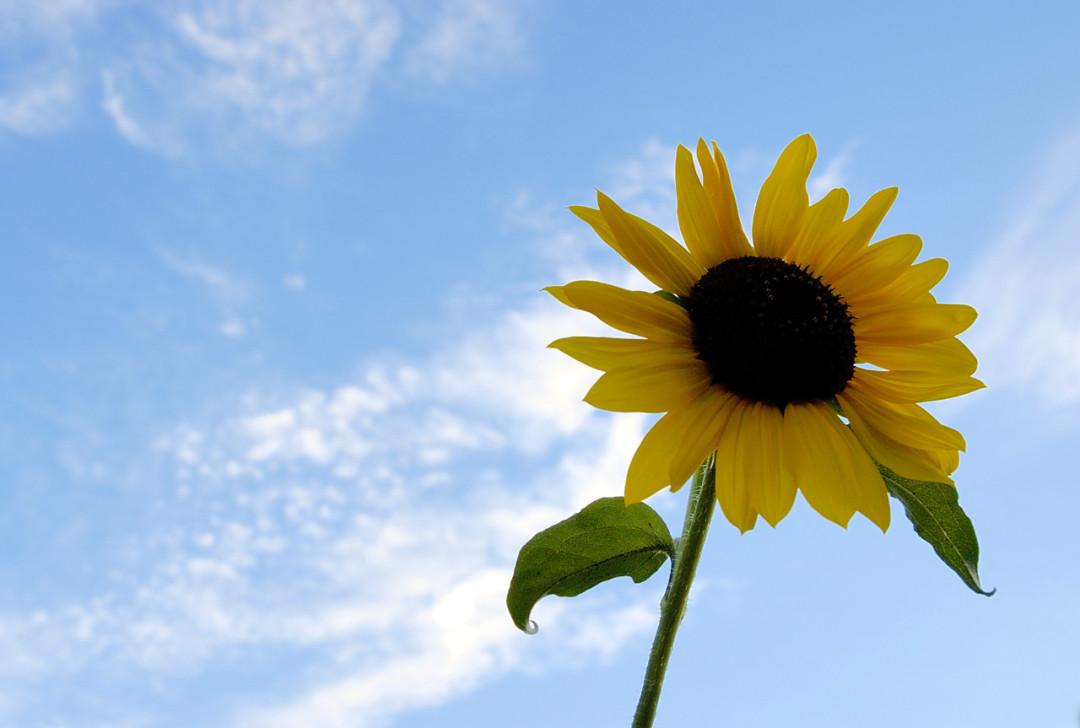 four23org-sunflower-summer