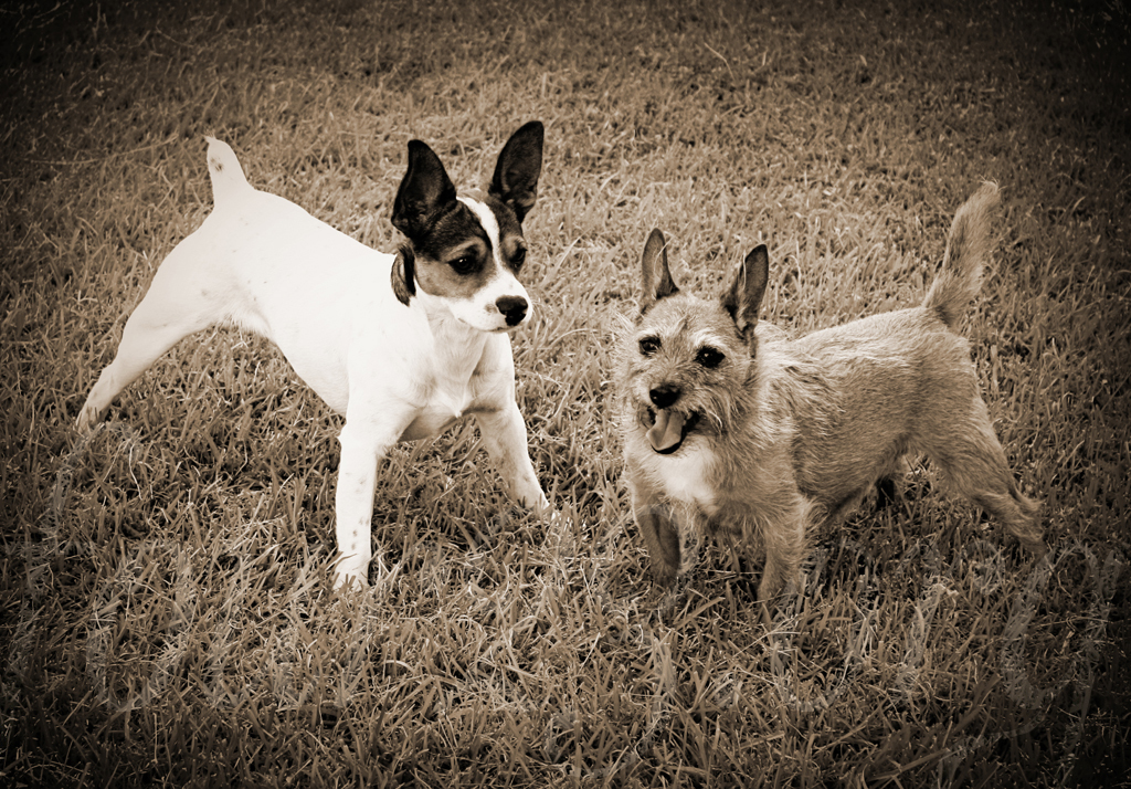 Baxter Sammy Jackabee Terrier Puppies