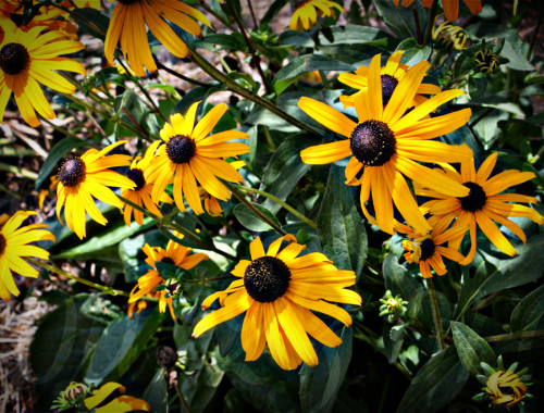 Summer Flowers Black Eyed Susan